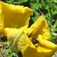 熊蜂とカボチャの花